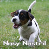 KfT Parson Russell Terrier Nosy Nostril
